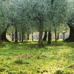 #green #grass #trees #environement #nature #life #instanature #wildness #colours #amazing #tronchi #prato #walking #peace #magic #oil #uliveto #novellaorchidea #novella #orchidea #raccontierotici #racconti #ebook
