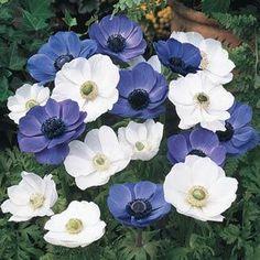 Poppy Anemone Mixture - Blue and White Poppy Anemone