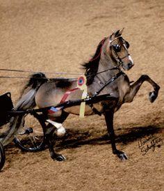 Hackney Pony | Alles over de hackney pony. - Plazilla.com