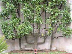 Arbres Fruitiers En Jardinerie Growing Tree Horticulture Garden Landscaping Ideas Pear