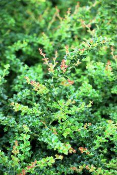 Darwins Berberitze • Berberis darwinii • Pflanzen & Blumen • 99Roots.com