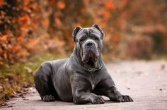 Stunning pic of gorgeous cane corso Cane Corso Italian Mastiff, Cane Corso Mastiff, Neo Mastiff, Big Dogs, Dogs And Puppies, Corgi Puppies, Coyotes, Dressage, Neopolitan Mastiff