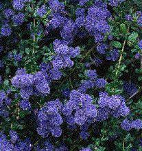 Ceanothus 'Edinburgh' Opgaande, halfhoge struik met kleine donkergroene blaadjes en donkerblauwe bloempjes in juni/juli. Snoeien is niet nodig. Hoogte van 100cm tot 150cm.