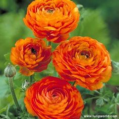 orange ranunculus another one of our flowers