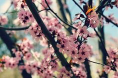 bend blossoms I by mrs. french, via Flickr