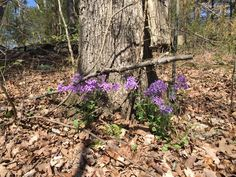 Wild Phlox- it's everywhere!   April 2016