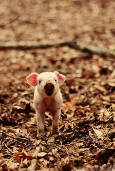 """* * """" Whens yoo care fer piggies, yoo haz to expects to gets a little mud on yerself."""""""