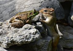 A frog and chipmunk share a romantic kiss pictured by Isabelle Marozzo for the Comedy Wildlife Photo Awards 2016, Canada, September, 2015. (Photo by Isabelle Marozzo/Barcroft Images/Comedy Wildlife Photo Awards) | www.petnook.in #petnook