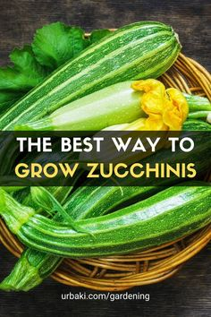 We walk you through the process of growing Zucchini, how to grow it, how to maintain your plants, water, fertilize and harvest it and also a quick recipe to make the best use of your fresh homegrown zucchini squash. Zucchini is easy to grow in pots or containers. Growing the zucchini plant can be a challenge so this helpful zucchini growing video should answer all your questions about growing zucchini. #urbakigardening #gardening #zucchini #vegetables #growzucchini #easygrow
