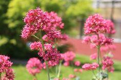 Actueel - Hoe snoei je de rode valeriaan in het voorjaar? - https://www.tuincentrumoverzicht.nl/actueel/5397/hoe-snoei-je-de-rode-valeriaan-in-het-voorjaary