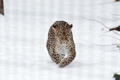 PHOTOS PANTHERES - Les-felins.com