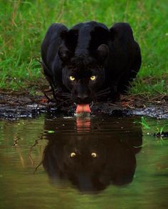 A black panther is not a species in its own right; the name black panther is an umbrella term that refers to any big cat with a black coat. Black Animals, Animals And Pets, Funny Animals, Cute Animals, Wild Animals, Beautiful Cats, Animals Beautiful, Beautiful Artwork, Big Cats