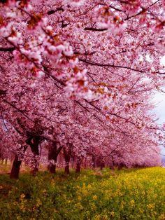Hoa anh đào khoe sắc cùng hoa cỏ mùa xuân tạo thành bức tranh nhiều màu sắc ở Nhật Bản.