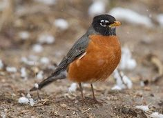 American Robin Identification, All About Birds, Cornell Lab of Ornithology Robin Photos, Johnny Jump Up, Bird Sightings, Bird Identification, American Robin, State Birds, Bird Book, Robin Bird, Backyard Birds