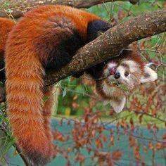 Roter Panda, Katzenbär