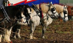 Draft horse ploughing competition #drafthorse