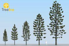 Araucaria cunninghamii - Pesquisa Google
