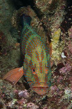 A Grouper fish