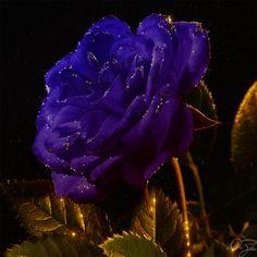 Rose by DiZa-74