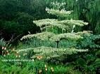 (Wedding Cake Tree) Cornus controversa 'Variegata' is a popular and beautiful small tree with cream variegated leaves and distinct tiers of branches once established. Trees And Shrubs, Trees To Plant, Garden Trees, Garden Plants, Pagoda Dogwood, Arbors Trellis, White Gardens, Small Trees, Autumn Garden