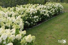 Kyushu, Pivot Doors, Hydrangea, Plants, Search, Google, Gardens, Potted Plants, Garden Planning