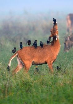 Love this photo so very much.  Ill scratch your back... antelope and myna birds enjoy a symbiotic relationship