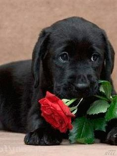 "Check out our site for even more details on ""labrador retriever"". It is an outstanding location to read more. Cute Labrador Puppies, Black Lab Puppies, Cute Dogs And Puppies, Baby Dogs, Doggies, Cute Funny Animals, Cute Baby Animals, Animals And Pets, Beautiful Dogs"