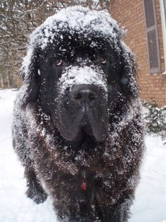 Gus - the most lovable Newfoundland