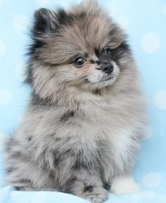 Pomeranian Puppy in a Teacup