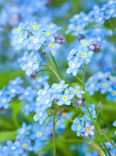 Forget-Me-Nots in a Spring Shade Garden. More Beautiful Blue Flowers
