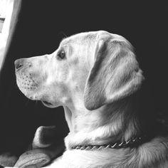 Dreaming Labrador