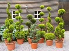 Outdoor Topiary, Topiary Plants, Topiary Garden, Topiary Trees, Garden Trees, Lawn And Garden, Backyard Vegetable Gardens, Outdoor Gardens, Garden Hedges