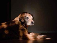 Orion a 9/11 rescue  & search dog