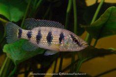 Red Jewel Cichlids: Photo des Tages - Hemichromis elongatus