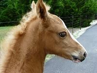 MEMC Morgans - MEMC Foals 2007 ~ 2009 ~ Cremello, Palomino, Buckskin, Pinto, Splash and Sabino!