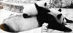 When I try to get a piggy back ride | image tagged in gifs,animals,pandas,cute,reactions,funny