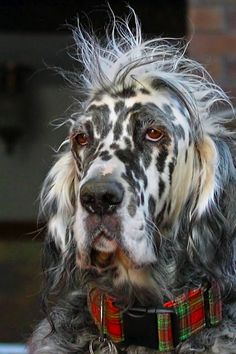 George, the English Setter - having a bad hair day - dogs Baby Dogs, Pet Dogs, Dogs And Puppies, Dog Cat, Doggies, Funny Animals, Cute Animals, Funny Dogs, Dog Shots