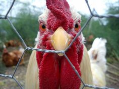 we think that apart from all the fun facts here you also enjoyed the various funny pictures of chickens in this article.chickens are always great with such beautiful characteristics and features that they carry in them. Chicken Jokes, Angry Chicken, Chicken Signs, Funny Chicken Memes, Chicken Fence, Funny Memes, Chicken Shop, Funny Quotes, Chicken Life