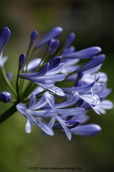 Agapanthus. Love it in big arrangements. Awesome with white roses or tulips.