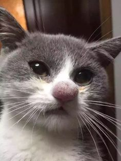 Cat's nose after losing a battle with a bee. - Imgur