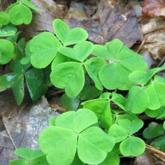 """I still catch myself searching for a """"four~leaf~clover"""". Childhood idle time - finding a four-leaf clover! Healing Herbs, Medicinal Plants, Natural Healing, Clover Plant, Leaf Clover, Herbal Remedies, Natural Remedies, Edible Wild Plants, Cancer Cells"""