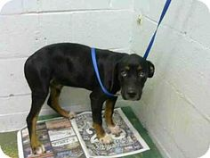 🔥🔥🔥 JUST A PUP & OUT OF TIME 🔥🔥🔥 Atlanta, GA - Doberman Pinscher. Meet ROSCOE, a puppy for adoption. http://www.adoptapet.com/pet/16757343-atlanta-georgia-doberman-pinscher