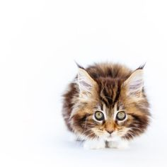 Find images and videos about love, lovely and cat on We Heart It - the app to get lost in what you love. Crazy Cat Lady, Crazy Cats, I Love Cats, Cute Cats, Baby Animals, Cute Animals, Here Kitty Kitty, Kitty Cats, Sleepy Cat