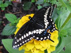 Garden to attract Black Swallowtails!