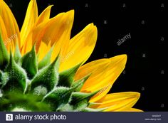 Download this stock image: Sunflower Isolated - GH2GX7 from Alamy's library of millions of high resolution stock photos, illustrations and vectors.