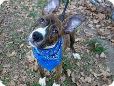 New York, NY - Pit Bull Terrier Mix. Meet CHESTER, a dog for adoption. http://www.adoptapet.com/pet/11598063-new-york-new-york-pit-bull-terrier-mix