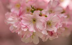 Pink cherry flowers, bloom, macro photography wallpaper 2880x1800