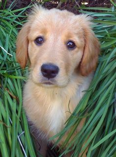 Sunday the Golden Retriever Pictures 595498