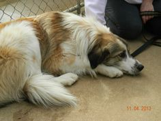All Great Pyrenees require a fenced in back yard. If you have questions about the breed or our adoption policies and procedures, please go to our website at www.agprescue.com. It will also have our adoption application.
