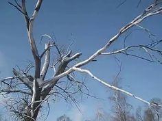 Спиливание деревьев. Экшн видео оператора чуть не убило.
